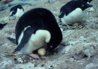 TýdenHoaxů #6 Létající tučňáci